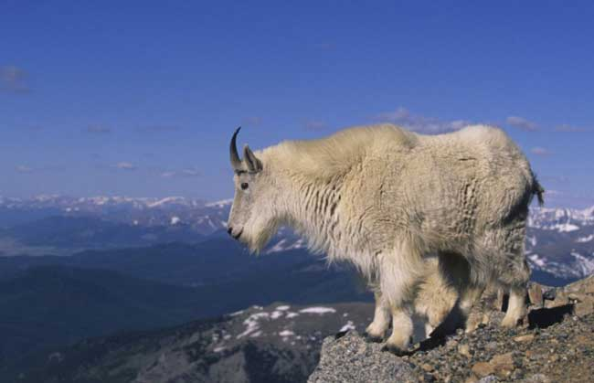 capricorn-the-goat