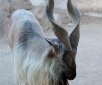 capricorn-the-goat